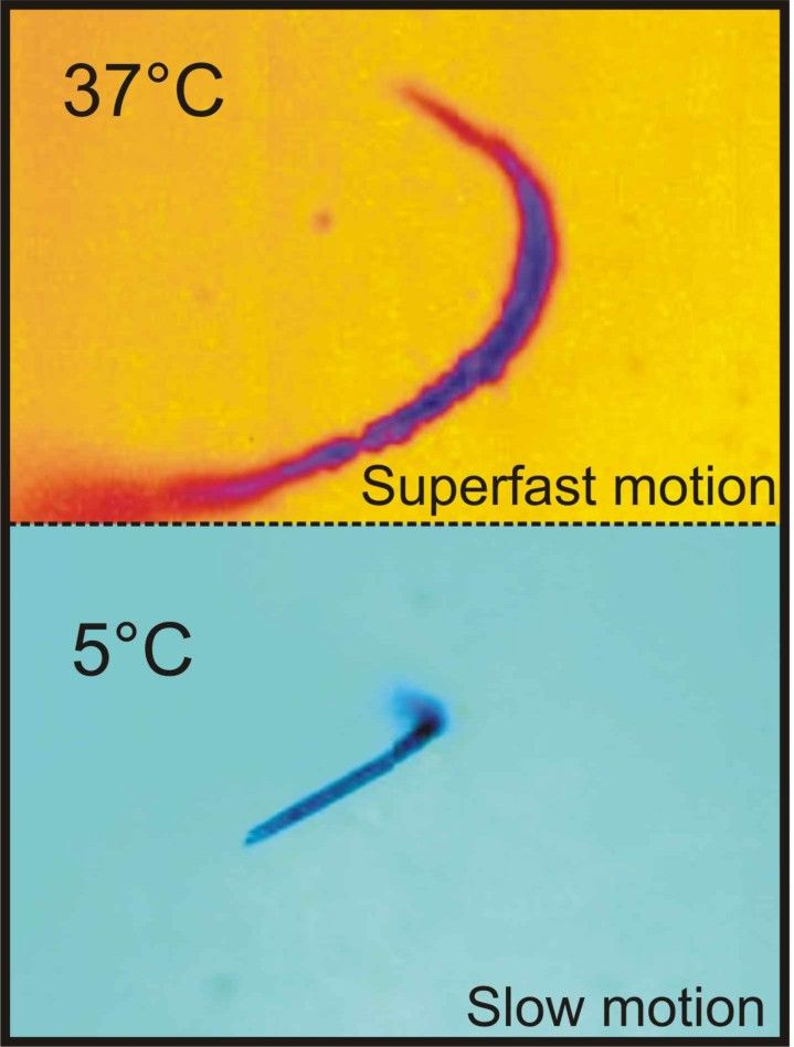 Superfast motion of catalytic microjet engines at physiological temperature