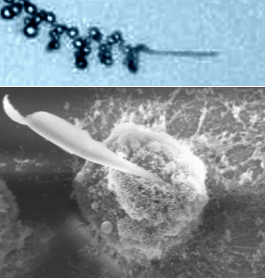 Self-propelled nanotools drilling into cells